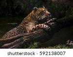jaguar  panthera onca  swims ... | Shutterstock . vector #592138007