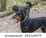 Small photo of German Pinscher dog walking in the park with mouth open and tongue hanging out