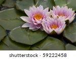 Three Waterlilies