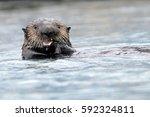 Northern Sea Otter Eating Prey