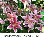 Lily Pink Lily
