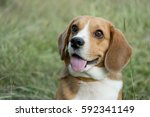 portrait cute face beagle dog... | Shutterstock . vector #592341149