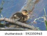 Small photo of American Black Duck (juvenile)