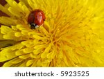 Macro of tiny ladybug on a yellow dandelion - stock photo