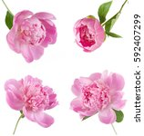 Peony Flowers Set Isolated On...