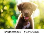 Stock photo brown adorable happy labrador retriever puppy portrait against sunset light and bokeh colorful 592409831