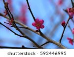 Small photo of February in Japan, plum blossoms are blooming all at once, and they are wrapped in plum fragrance.