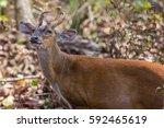 Cute Barking Deer  Or Red...