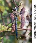 Small photo of Male Migrant Hawker dragonfly (Aeshna mixta) on Grey Adler (Alnus incana)