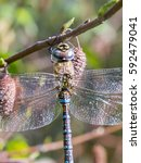 Small photo of Male Migrant Hawker dragonfly (Aeshna mixta) on Grey Adler (Alnus incana)