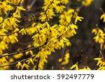 Blooming In Spring Garden Bush...