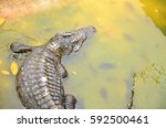 floating crocodile lives in a...   Shutterstock . vector #592500461