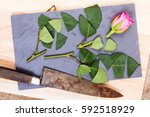 single rose cut up on piece of... | Shutterstock . vector #592518929