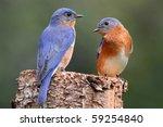 Pair Of Eastern Bluebird ...