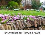 Pink Cyclamen Flowers Growing...