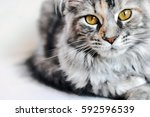 Stock photo beautiful silver tabby maine coon kitten girl with large golden eyes isolated on white 592596539