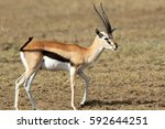 Small photo of The adult male of a gazelle a tail beats off importunate flies and insects
