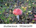 Amanita Muscaria. Beautiful An...