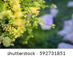 bright young foliage of...   Shutterstock . vector #592731851