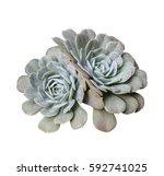 miniature succulent plants... | Shutterstock . vector #592741025