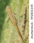 Small photo of newt, triton salamander amphibia animal