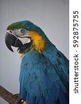 beautiful macaw in oahu  hawaii | Shutterstock . vector #592875755