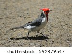 Running Red Crested Cardinal I...