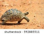 african leopard tortoise ... | Shutterstock . vector #592885511