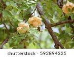 african baobab  adansonia... | Shutterstock . vector #592894325