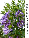 Small photo of Texas Mountain Laurel Flower Purple Tree Desert
