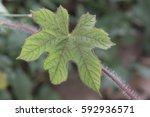 fresh palmatifid shape leaf in