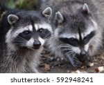 Two Adorable Raccoons Eating A...