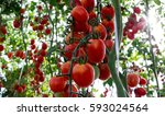 Tomatoes Red In Field