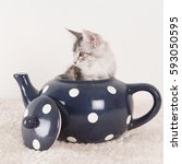 Stock photo little funny maine coon kitten in big blue tea pot 593050595