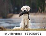 hunting golden retriever dog... | Shutterstock . vector #593050931