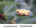 Painted Reed Frog Or Spoted...
