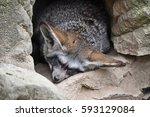 bat eared fox  otocyon... | Shutterstock . vector #593129084