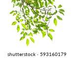 green leaves isolated on white... | Shutterstock . vector #593160179