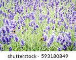 beautiful colorful flowers as... | Shutterstock . vector #593180849