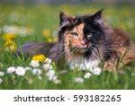 Colourful Norwegian Forest Cat...