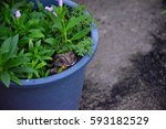 Frog Hide In The Pot Of Grass...