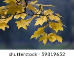 Branch Of A Maple In The Autum...