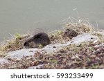 Nutria And Duck Sleeping On Th...