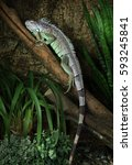 a large green iguana male... | Shutterstock . vector #593245841