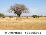 big baobab  tarangire national... | Shutterstock . vector #593256911