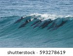 a pod of dolphins catch a wave...   Shutterstock . vector #593278619