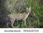 The Serval Cat Lives In The...