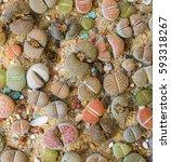 Lithops  Living Stone   Cactus