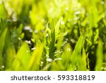 fresh green spring grass with... | Shutterstock . vector #593318819