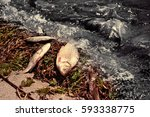 Oil Spills Concept. Dead Fish...